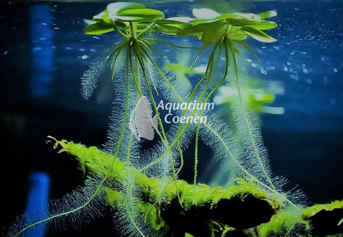 Vrolijke drijvers; over drijfplanten in het aquarium