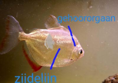 Aquarium-Coenen-Metynnis-hypsauchen-gehoor