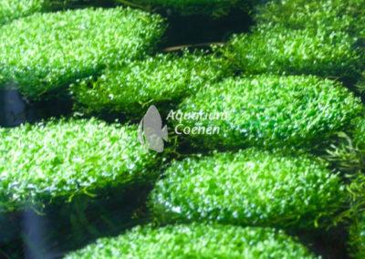 Aquarium-Coenen-Riccia-fluitans
