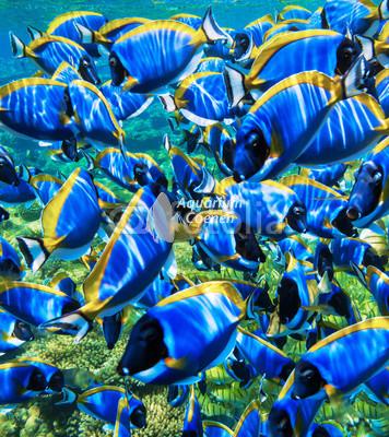 Aquarium-Coenen-school-Acanthurus-leucosternon