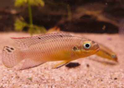 Erpetoichthys calabaricus (Goudaal of Wimpelaal)