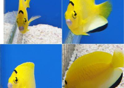 Apolemichthys trimaculatus (Drievlak keizersvis)