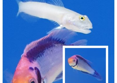 Cirrhilabrus solorensis (Roodoog dwerglipvis)