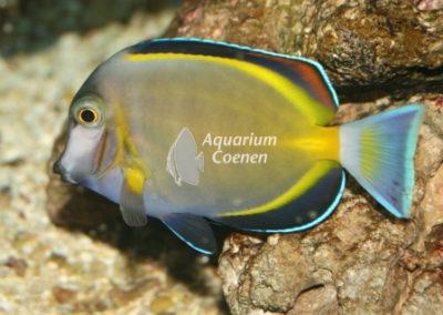 Aquarium-Coenen-Acanthurus-japonicus