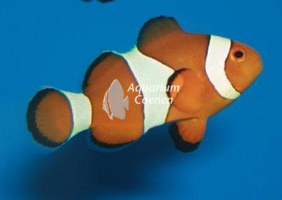 Aquarium-Coenen-Amphiprion-ocellaris