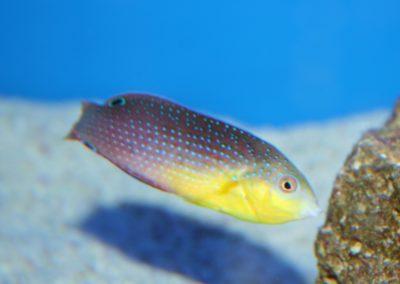 Anampses twistii (Geelborst lipvis)