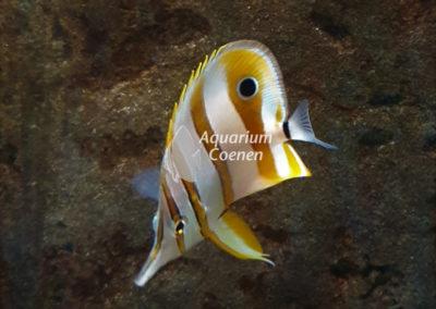 Aquarium-Coenen-Chaetodon-rostratus