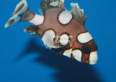 Aquarium-Coenen-Plectorhinchus-chaetodonoides
