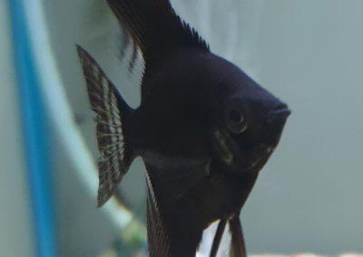 Pterophyllum scalare zwart (Maanvis zwart)