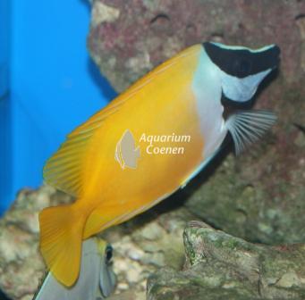 Siganus vulpinus (Vossenkop)