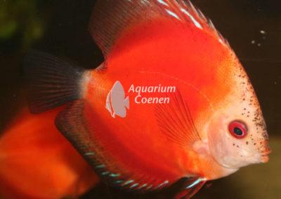 Aquarium-Coenen-Symphysodon-aequifasciatus-marlboro-rood