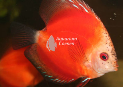 Symphysodon aequifasciatus marlboro rood
