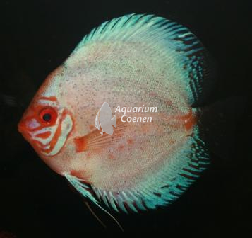Aquarium-Coenen-Symphysodon-aequifasciatus-pigeon-blood-zilver