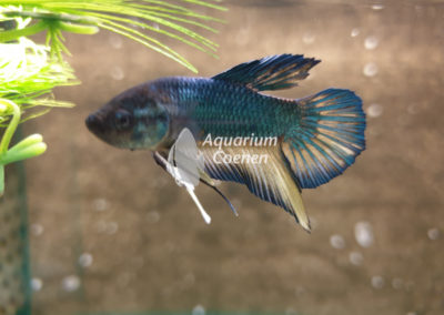 Betta splendens plakat dragon
