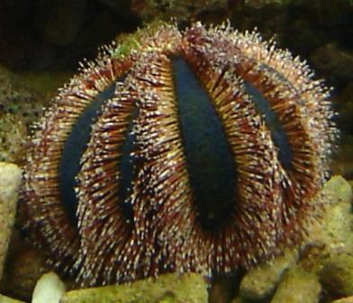 Mespilia globulus (Mespilia zee-egel)