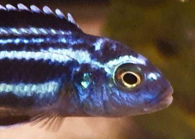 Melanochromis cyaenorhabdos maingano