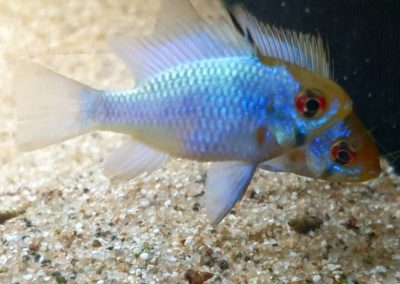 Mikrogeophagus ramirezi electric blue