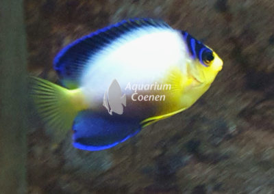 Centropyge multicolor