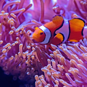 Aquarium Coenen Best Amphiprion ocellaris (Driebands anemoonvis / Nemo)