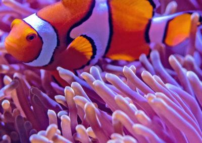 Aquarium Coenen Best Amphiprion ocellaris (Driebands anemoonvis / Nemo)