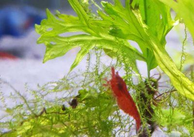Aquarium Coenen Best Neocaridina davidi var. Red sakura (Rode dwerggarnaal)